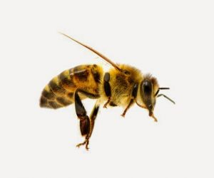 chino-hills-bee-removal
